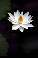 White Waterlily - Nymphaea Alba